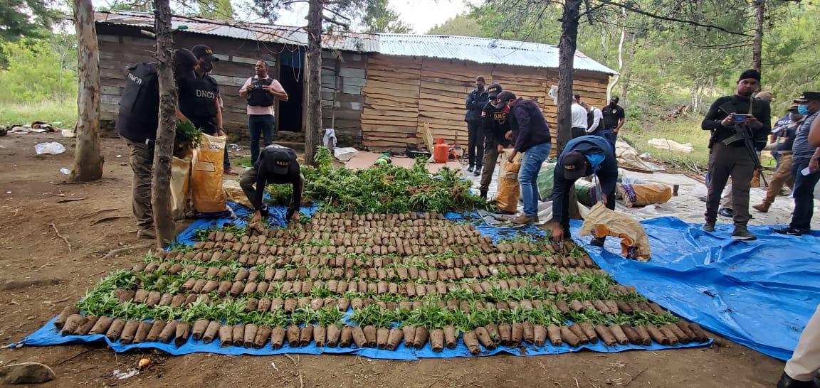 Decomisan cultivo de cientos de plantas presublimente Marihuana enConstanza